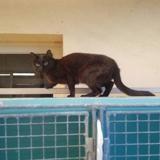 Babouche, Chat europeen à adopter