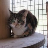Pénélope, Chat europeen à adopter