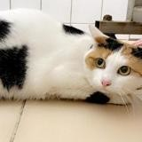Plume, Chat europeen à adopter