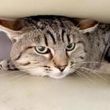 Glandu, Chat europeen à adopter