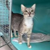 Rosa, Chat europeen à adopter