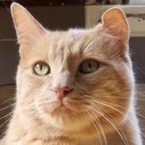 Kayapos, Chat europeen à adopter