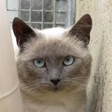 Cassio, Chat europeen à adopter
