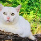 Ondine, Chat europeen à adopter