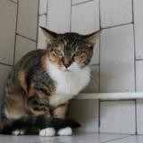 Angie hab13599, Chaton europeen à adopter