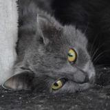 Lhassa cha12633, Chat europeen à adopter