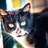Gregoria, Chat europeen à adopter