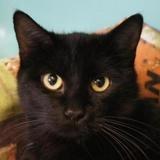 Plume (réservée), Chat europeen à adopter