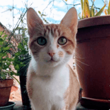 Rouquette, Chat europeen à adopter