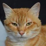 Caramel cha12722, Chat europeen à adopter