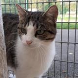 Nenette, Chat europeen à adopter