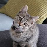 Rosy, Chaton europeen à adopter