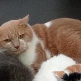 Joba, Chat europeen à adopter