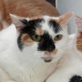 Bea, Chat europeen à adopter