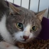 Guimauve, Chat europeen à adopter