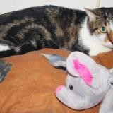 Lola, Chat europeen à adopter