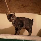 Peluche, Chat europeen à adopter