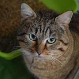 Gingembre, Chat europeen à adopter