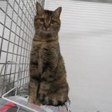 Choupette, Chat europeen à adopter