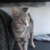 Corail, Chat europeen à adopter
