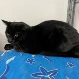 Choupi, Chat europeen à adopter