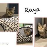 Raya (réservée), Chat europeen à adopter