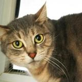 Rutabaga, Chat europeen à adopter