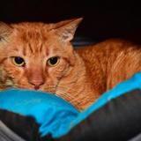 Garfield a15010, Chat europeen à adopter