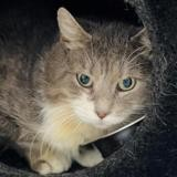 Papouf [fiv +], Chat europeen à adopter