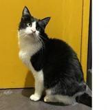 Margaret, Chat europeen à adopter