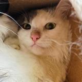 Lentille, Chat europeen à adopter