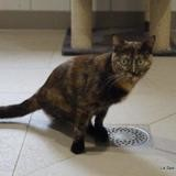 Stella, Chat europeen à adopter
