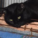 Bouillon, Chat europeen à adopter