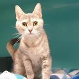 Nestea (réservée), Chat europeen à adopter
