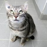 Tomy, Chat europeen à adopter