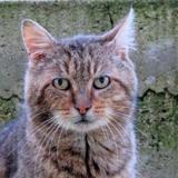 Gus, Chat europeen à adopter