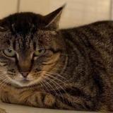Lizbeth, Chat europeen à adopter