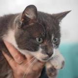 Bintou, Chat europeen à adopter