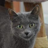 Opaline cha13290, Chat europeen à adopter