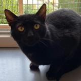 Noirot, Chat europeen à adopter