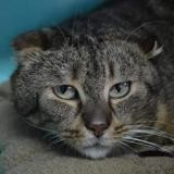 Ony cha133145, Chat europeen à adopter