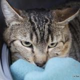 Chamy , Chat europeen à adopter