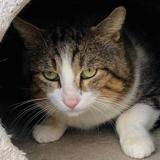 Chabichou [fiv+], Chat europeen à adopter