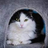 Malika, Chat europeen à adopter