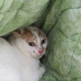 Soleil, Chat europeen à adopter