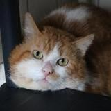 Maow hab14000, Chat europeen à adopter