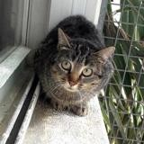 Chocapic, Chat europeen à adopter