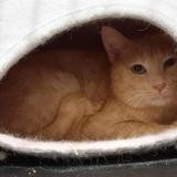Peter cha13310, Chat europeen à adopter
