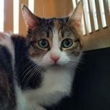 Venus, Chat européen à adopter