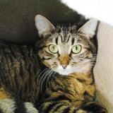 Milly, Chat europeen à adopter